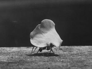 Leaf-Cutter Ant Carrying Off Rose Fragments