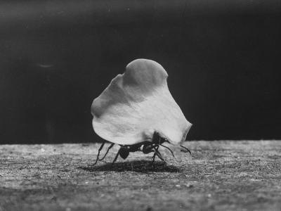 Leaf-Cutter Ant Carrying Off Rose Fragments--Photographic Print