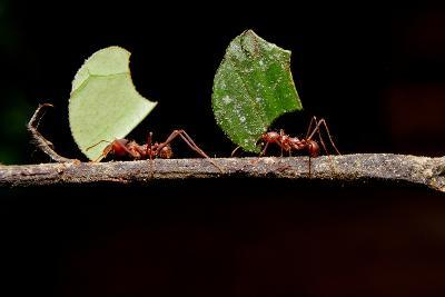 Leaf Cutter Ants, Carrying Leaf, Black Background.- Fotos593-Photographic Print