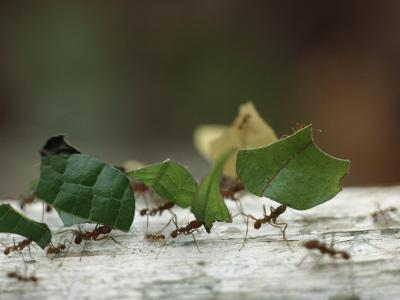 Leaf-Cutter Ants near Sao Gabriel, Amazon River Basin, Brazil-James P^ Blair-Photographic Print