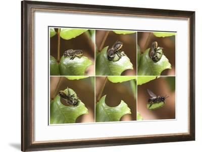 Leaf-Cutting Bee (Megachile Species) Sequence Showing Cutting Leaf Section From Rose-Kim Taylor-Framed Photographic Print