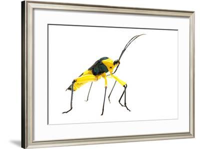 Leaf-Footed Bug (Coreidae) Iwokrama, Guyana. Meetyourneighbours.Net Project-Andrew Snyder-Framed Photographic Print