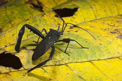 Leaf-Footed Bug, Yasuni NP, Amazon Rainforest, Ecuador-Pete Oxford-Photographic Print