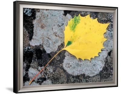 Leaf of a Bigtooth Aspen on Lichen and Granite, Howe Brook, Baxter State Park, Maine, USA-Jerry & Marcy Monkman-Framed Photographic Print