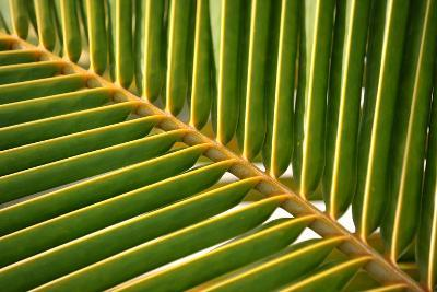 Leaf of a Palm Tree at a Beach on the Caribbean Island of Grenada-Frank May-Photo