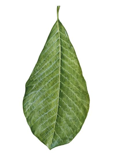 Leaf of Saucer Magnolia Magnolia X Soulangeana--Giclee Print