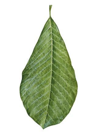 https://imgc.artprintimages.com/img/print/leaf-of-saucer-magnolia-magnolia-x-soulangeana_u-l-pw2c4e0.jpg?p=0