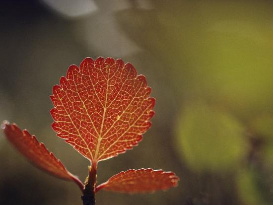 Leaf, Sheenjek River Valley, Arctic National Wildlife Refuge, Alaska-George F^ Mobley-Photographic Print
