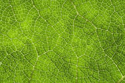 Leaf Texture VII-Cora Niele-Photographic Print