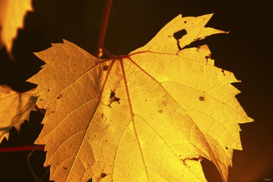 Leaf-Gordon Semmens-Photographic Print