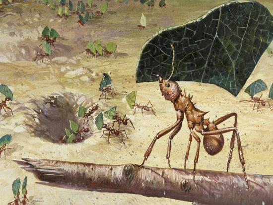 Leafcutter Ant (Acromyrmex Lundii), Formicidae--Giclee Print