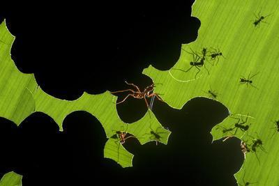 https://imgc.artprintimages.com/img/print/leafcutter-ants-atta-sp-colony-harvesting-a-banana-leaf-costa-rica_u-l-q11pxfd0.jpg?p=0