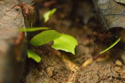 Leafcutter Ants Carry Leafs Back to their Colony on Barro Colorado Island-Jonathan Kingston-Photographic Print