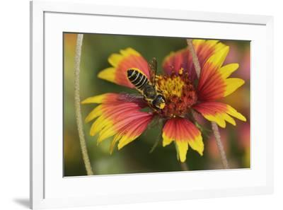 Leafcutter bee feeding on Indian Blanket, Texas, USA-Rolf Nussbaumer-Framed Premium Photographic Print