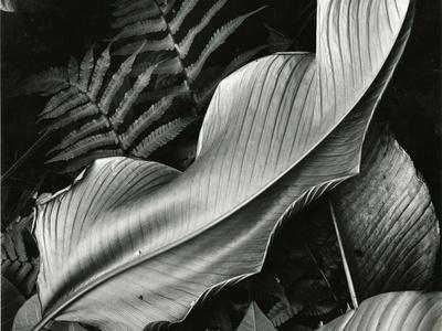 https://imgc.artprintimages.com/img/print/leafs-and-ferns-hawaii-1979_u-l-q1g6w890.jpg?p=0