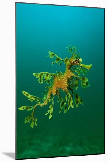 Leafy Seadragon an Example of Brilliant Camouflage--Mounted Photographic Print