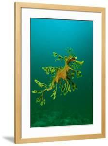 Leafy Seadragon an Example of Brilliant Camouflage