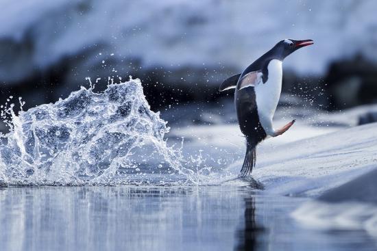 Leaping Gentoo Penguin, Antarctica--Photographic Print