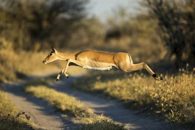 Leaping Impala, Moremi Game Reserve, Botswana-Paul Souders-Photographic Print