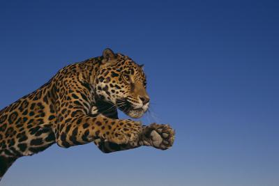 Leaping Jaguar-DLILLC-Photographic Print
