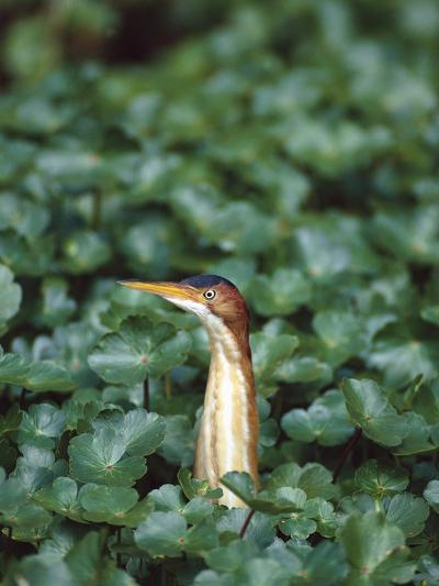 Least Bittern (Ixobrychus Exilis) Among Wetland Plants, Anahuac Nat'l Wildlife Refuge, Texas-Tom Vezo/Minden Pictures-Photographic Print