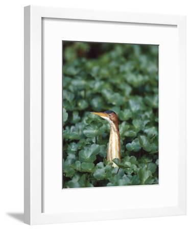 Least Bittern (Ixobrychus Exilis) Among Wetland Plants, Anahuac Nat'l Wildlife Refuge, Texas-Tom Vezo/Minden Pictures-Framed Photographic Print