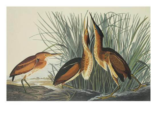 Least Bittern-John James Audubon-Art Print