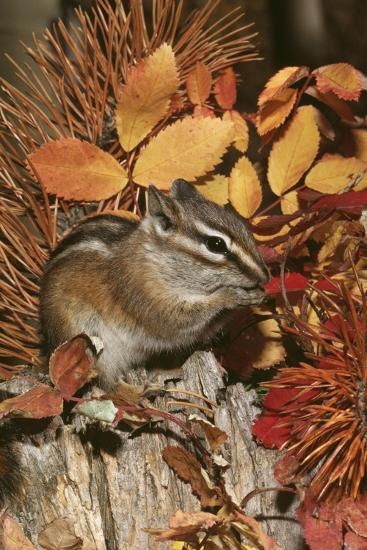 Least Chipmunk Among Leaves--Photographic Print