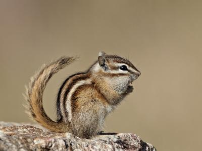 Least Chipmunk (Neotamias Minimus), Custer State Park, South Dakota, United States of America, Nort-James Hager-Photographic Print