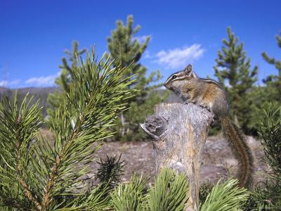 Least Chipmunk on Small Log Showing Habitat, Wyoming, USA-Mark Hamblin-Photographic Print