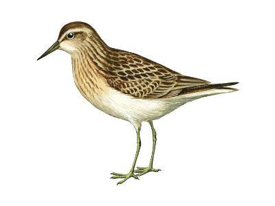 Least Sandpiper (Calidris Minutilla), Birds-Encyclopaedia Britannica-Art Print