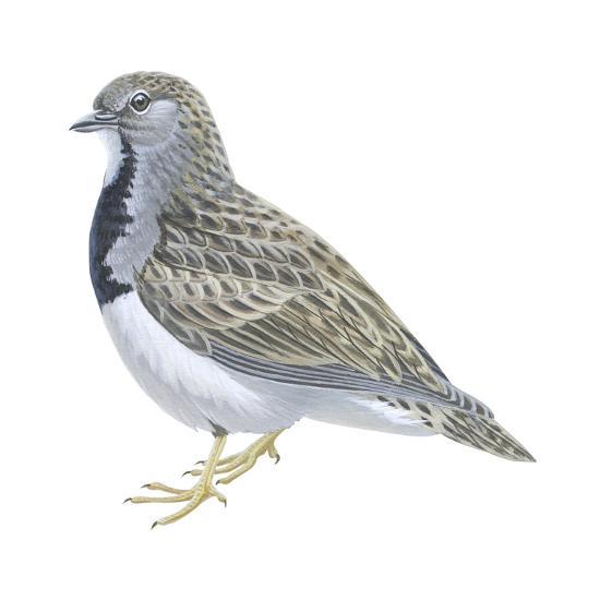 Least Seedsnipe (Thinocorus Rumicivorus), Birds-Encyclopaedia Britannica-Art Print