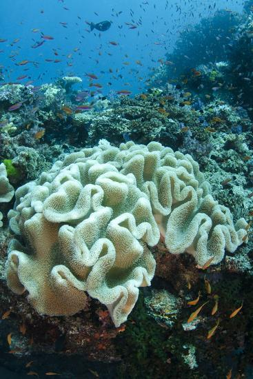 Leather Coral (Alcyonacea), Fiji. Coral Reef Diversity-Pete Oxford-Photographic Print