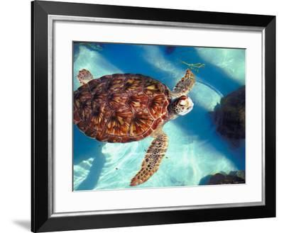 Leatherback Turtles Swimming Together in Pool--Framed Photographic Print