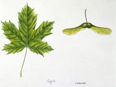 Leaves and Fruits Samara, Keys of Norway Maple Acer Platanoides--Giclee Print