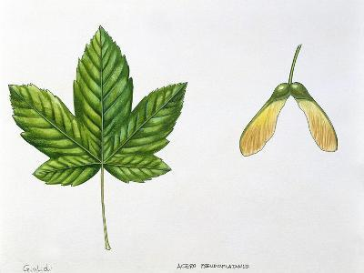 Leaves and Fruits Samara, Keys of Sycamore Maple Acer Pseudoplatanus--Giclee Print
