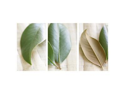 Leaves and Muslin Triptych--Photo