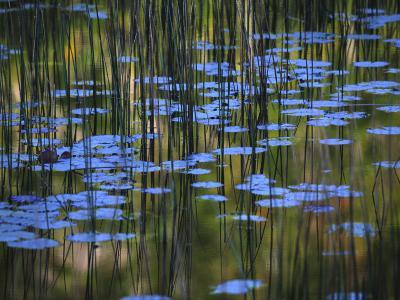 Leaves and Reflections of Fall Foliage and Grasses in the Tarn-Michael Melford-Photographic Print