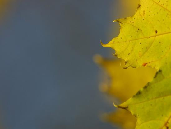 Leaves During Autumn in Nature--Photographic Print