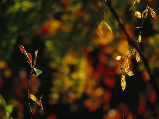Leaves in a Fantastic Array of Autumn Colors-Raymond Gehman-Photographic Print