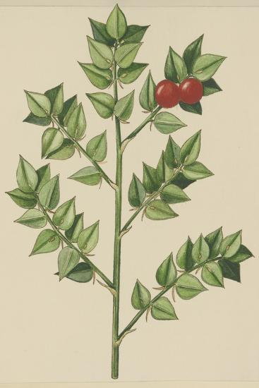 Leaves of Butcher's Broom (Ruscus Aculeatus), Ruscaceae--Giclee Print