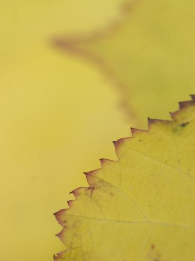 Leaves of the California Blackberry Plant Shot at High Magnification-Phil Schermeister-Photographic Print