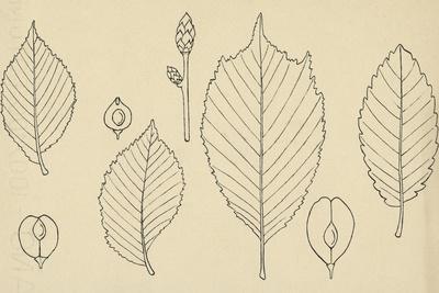 https://imgc.artprintimages.com/img/print/leaves-of-various-species-of-elm-ulmus_u-l-pw1v7p0.jpg?p=0