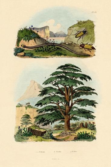 Lebanon Cedar, 1833-39--Giclee Print