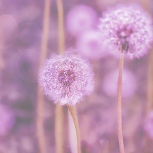 Pink Dandelion - Square by Lebens Art