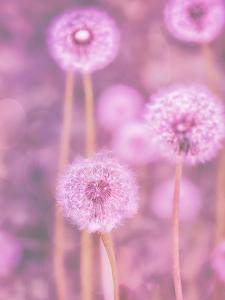 Pink Dandelion by Lebens Art
