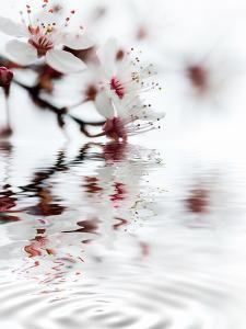 White Cherry Blossom by Lebens Art