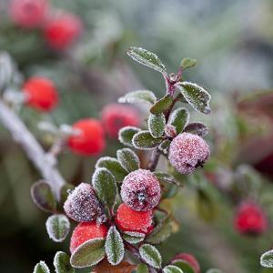 Winter Berries - Square by Lebens Art