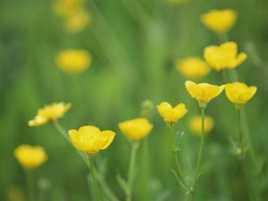 Buttercups by Lee Frost