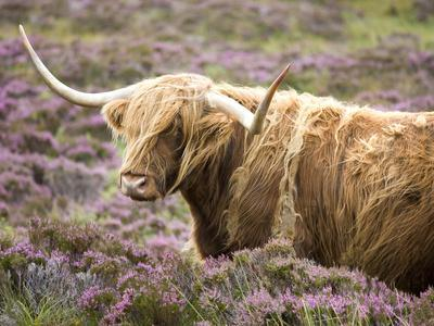 Highland Cow Grazing Among Heather Near Drinan, on Road to Elgol, Isle of Skye, Highlands, Scotland